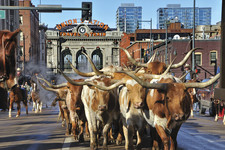 Denver USA cows