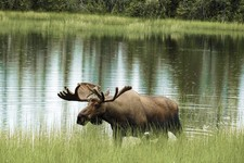 Beautiful moose in a lake
