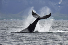 Whale Watching Boat Tour